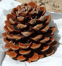 220px Pine cone with nuts
